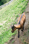 Domestic Pygmy Goat Photographed in Tyrol Austria