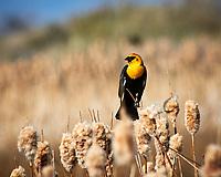 Yellow-headed Blackbird (Xanthocephalus xanthocephalus). Alamosa National Wildlife Refuge, Colorado. Image taken with a Nikon D300  camera and 80-400 mm VR lens