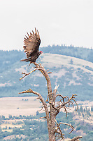 A turkey vulture spreads its wings from atop a dead tree overlooking the Columbia Gorge in Southern Washington, with Oregon in the background.