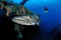 Sphyraena qenie, Dunkelflossen Barrakuda und Taucher, Blackfin Barracuda and scuba diver, Liberty Wrack Wreck, Tulamben, Bali, Indonesien, Indopazifik, Idonesia, Asien, Indo-Pacific Ocean, Asia