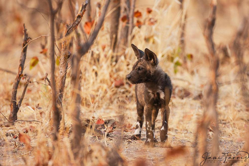 An endangered and hungry African wild dog pup(Lycaon pictus) anxiously awaits the return of its mother from the hunt, Khwai River, Moremi Reserve, Botswana, Africa