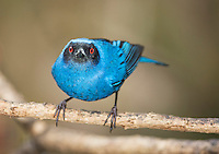 Masked flowerpiercer, Diglossopis cyanea, perched on a branched at Yanacocha Reserve, Ecuador