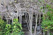Aerial roots covering a cliff face at Haena Beach, on the island of Kauai, Hawaii.