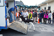 Dairy Council of California Instructor Brandon Roberts attempts to get one-month-old calf Rocky back in the trailer during the Mobile Dairy Classroom visit at Zanker Elementary School in Milpitas, California, on March 14, 2016. (Stan Olszewski/SOSKIphoto)