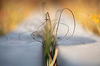 Detail of autumn grass growing through wooden boardwalk along Kungsleden Trail, Lapland, Sweden