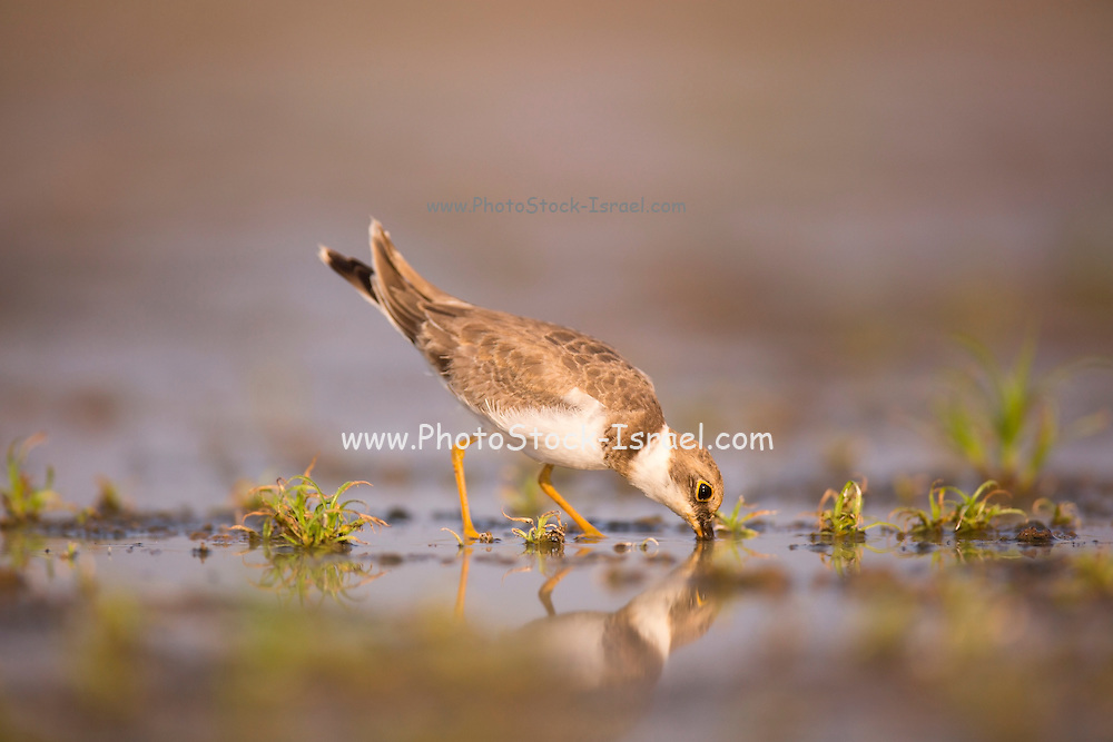 Little Ringed Plover (Charadrius dubius) wading in a pool. Photographed at Ein Afek Nature Reserve, Israel, in August