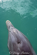 bottlenose dolphin, Tursiops truncatus, blowhole closed to prevent water entering, Belize, Central America ( Caribbean Sea )