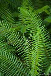 United States, Washington, Olympic National Park, Hoh Rain Forest, ferns