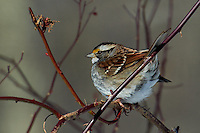White-throated Sparrow. Winter in New Jersey. Image taken with a Nikon D3s and 70-200 mm lens with 2x converter (ISO 200, 400 mm, f/8, 1/640 sec).