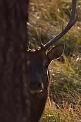 A young Bull Elk peaks around tree