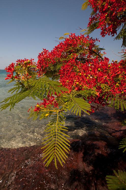 "Flamboyant ""Christmas"" Tree (Delonix regia) at Vonu Point, Turtle Island, Yasawa Islands, Fiji"