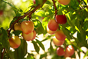 The ultimate eating-local opportunity: A beautiful backyard plum tree. (Erika Schultz / The Seattle Times)