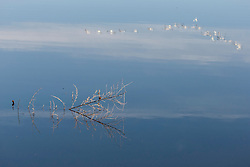 Reeds in water and snow geese reflections, Bosque del Apache, National Wildlife Refuge, New Mexico, USA.