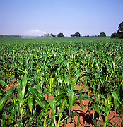 Field of sweet corn with irrigation sprayer