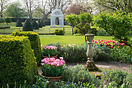 Tulipa 'Silver Parrot' in pots, topiary and a gazebo in the garden at Chenies Manor House, Chenies, Rickmansworth, Buckinghamshire, UK
