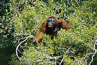 A adult male Bornean Orangutan (Pongo pygmaeus) named Roman climbs through a treetop in search of food.