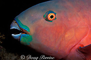 Indian Ocean steephead parrotfish, Chlorurus strongylocephalus, female asleep at night, Similan Islands,<br /> Thailand ( Andaman Sea - Indian Ocean )