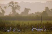Great Egrets feeding in swamp at sunrise - Mississippi