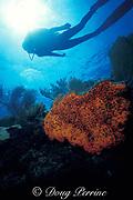 diver and elephant ear sponge, Agelas clathrodes, Molasses Reef, Florida Keys National Marine Sanctuary, Key Largo, Florida, ( Western Atlantic Ocean )  MR 79