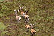 Red Deer, Scotland, United Kingdom
