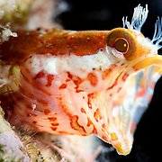 Male Neoclinus monogrammus blenny with his mouth wide open. This species was first described in 2010, with samples from waters of Japan.