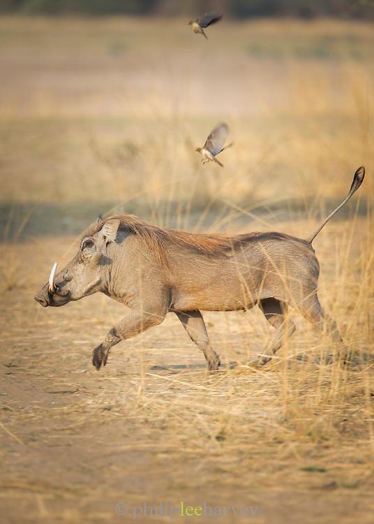 Warthog, Luangwa River Valley, Zambia, Africa
