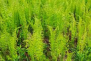 Cinnamon Fern (Osmundastrum cinnamomeum - formerly Osmunda cinnamomea) growing on Kendall Inlet Road<br />Kenora<br />Ontario<br />Canada