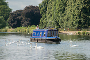 © Licensed to London News Pictures. 17/07/2014. Kingston Upon Thames, UK. A narrow boat passes through swans.  People and animals in the sunny hot weather on the banks of the River Thames at Kingston Upon Thames today 17th July 2014. Photo credit : Stephen Simpson/LNP