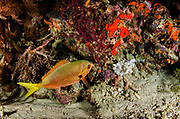 Yellowtail fusilier (Caesio cuning) adult, in night colours<br /> Raja Ampat<br /> West Papua<br /> Indonesia