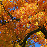 """""""Golden Branches Sway""""<br /> <br /> Beautiful maple tree full of golden leaves set against a bright blue sky!!<br /> <br /> Fall Foliage by Rachel Cohen"""