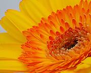 Image of a gerbera daisy