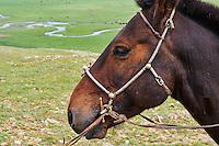 Mongolie, Arkhangai, harnachement et bride de cheval avec des décorations en argent// Mongolia, Arkhangai, silver bridle and harness for the horse