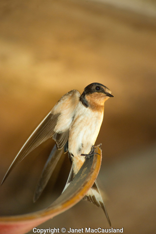 This snow ski is not needing during the nesting season for this barn dwelling swallow. Barn Swallows (Hirundo rustica) have the longest forked tail of all the swallows in North America.