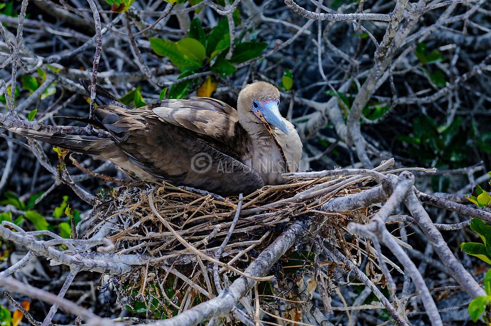 Red-footed Booby (Sula sula) nesting at Genovesa, Galapagos.