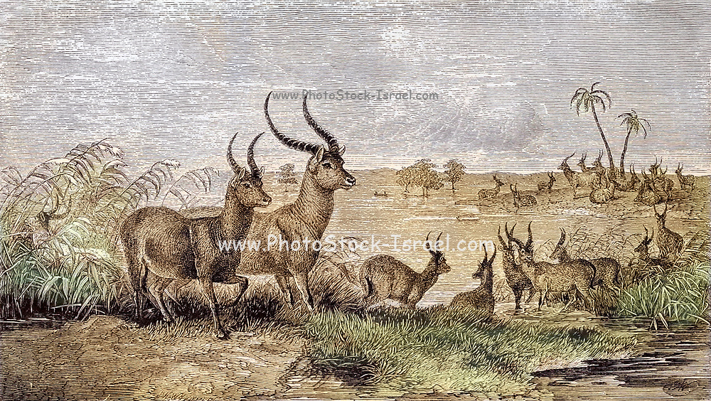 Machine colourised New African Antelopes (Poku and Leche) discovered by Oswell, Murray, and Livingstone From the Book ' Missionary travels and researches in South Africa ' including Sixteen Years Residence in the Interior of Africa. by Dr. David Livingstone Published in New York by Harper & Brothers 1858
