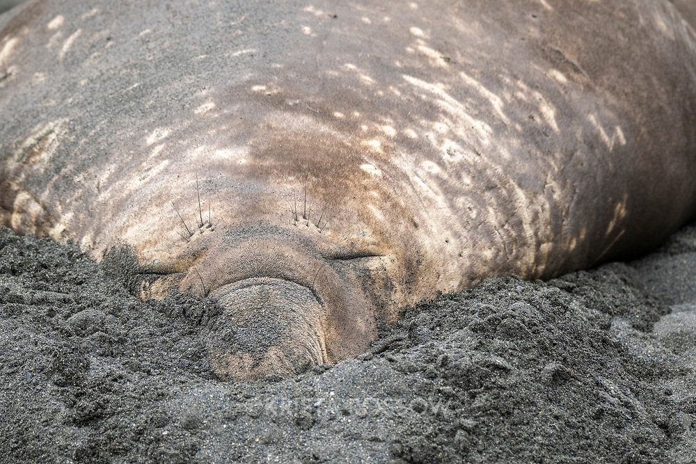 A bull southern elephant seal hides his giant proboscis in the sand at Gold Harbour on South Georgia Island.