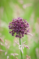 Allium atropurpureum growing in grass