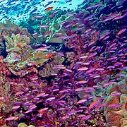 Magenta Slender Anthais inhabit reefs, often in large schools. Picture taken Fiji, 2011.