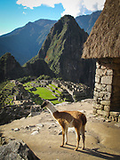 Llamas looking out at the Citadel at Machu Picchu which was an Inca city in the Andes mountains