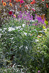 Brassica oleracea 'Spigarello' - Kale