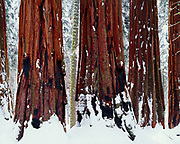 Fresh snow on The House Group of giant sequoias, Sequoiadendron giganeum, Giant Forest, Sequoia National Park, California.
