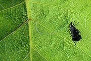 Birch leaf-roller (Deporaus betulae), The Biosphere Reserve 'Niedersächsische Elbtalaue' (Lower Saxonian Elbe Valley), Germany (sequence 1/8) | Der Birkenblattroller oder Trichterwickler (Deporaus betulae) ist in puncto Ernährung und Fortpflanzung so sehr auf seine Baumart spezialisiert, dass er sie sowohl im deutschen als auch im lateinischen Namen trägt (die Birke, lat. Betula spec.). Ein Männchen, das ein Weibchen für sich erobern konnte, reitet auf ihrem Rücken mit, während sie ein Birkenblatt für die Eiablage vorbereitet.