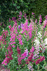 Mixed penstemons in the cutting garden