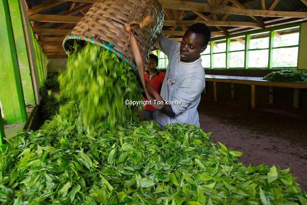 tea production in Kenya
