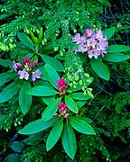 Rhododendron and Western Hemlock,near the Lady Bird Johnson Grove,Redwood National Park, California