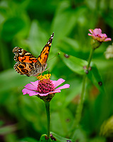 Painted Lady Butterfly. Image taken with a Fuji X-T2 camera and 100-400 mm OIS lens