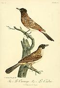 Le Curouge and Le Cudor from the Book Histoire naturelle des oiseaux d'Afrique [Natural History of birds of Africa] Volume 3, by Le Vaillant, François, 1753-1824; Publish in Paris by Chez J.J. Fuchs, libraire 1799 - 1802