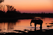 An African elephant, Loxodonta africana, drinking in the Khwai river at sunset.