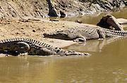 Nile Crocodiles, Grumeti River, Tanzania, East Africa