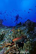 diver and tiger grouper, Mycteroperca tigris, at Shark Shoals pinnacle, Saba Island, Netherlands Antilles ( Eastern Caribbean Sea )